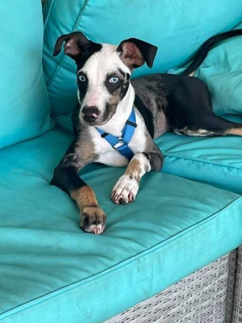 CAPE CORAL ANIMAL SHELTER SAVES BLEU, THE BLIND AND DEAF CATAHOULA PUPPY